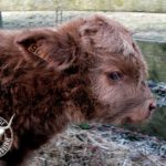 Veau de l'élevage de la Gaufrie