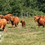 élevage Highland Cattle Bourgogne