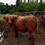 Vaches Hihgland de la Gaufrie